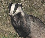 Chilterns Badger