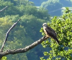 Chilterns Red Kite