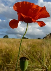 Poppy in the Chilterns