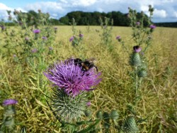Bees on Thistles